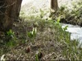 ハチ北スキー場に群生ザゼン草